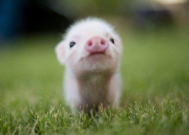 Свиноферми. Усунення смороду